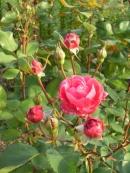 Rosa (Moderna Buskros-Gruppen) 'Alexander MacKenzie' (Morden explorer collection)