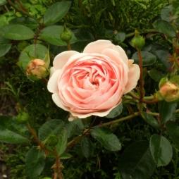 Rosa (Wichurana-Gruppen) 'Awakening'