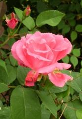Rosa (Bourbon-Gruppen) 'Zéphirine Drouhin'