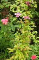 Rosa (Bourbon-Gruppen) 'Zéphirine Drouhin' o Clematis 'Piilu'