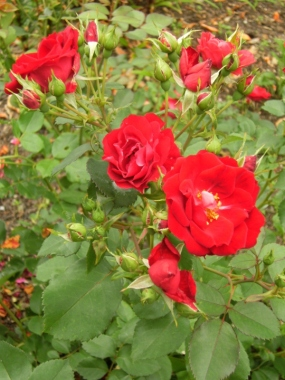 Rosa (Kordesii-Gruppen) 'Champlain' (Morden explorer collection)