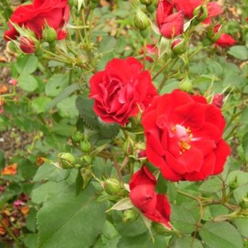 Rosa (Kordesii-Gruppen) 'Champlain' (Morden explorer collection)