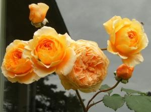 Rosa (Moderna Buskros-Gruppen) Crown Princess Margareta ('Auswinter')