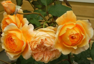 Rosa (Moderna Buskros-Gruppen) Crown Princess Margareta ('Auswinter')