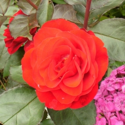 Rosa (Floribunda-Gruppen) 'Europeana'