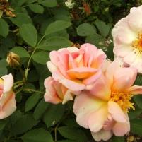 Rosa (Spinosissima-Gruppen) 'Frühlingsduft'