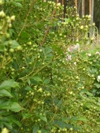 Rosa (Helenae-Gruppen) 'Hybrida' - fylld honungsros