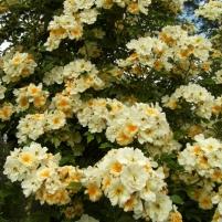 Rosa (Helenae-Gruppen) 'Hybrida' -, fylld honungsros