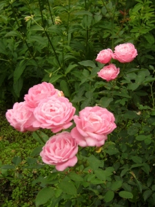 Rosa (Chinensis-Gruppen) 'Hermosa'