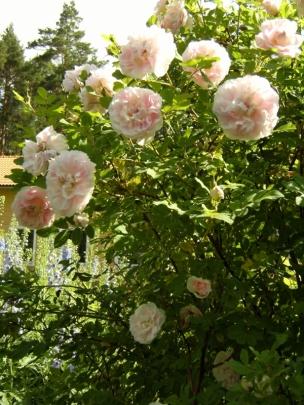 Rosa (Rugosa-Gruppen) 'Martin Frobisher' (Morden explorer collection)