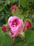 Rosa (Portland-Gruppen) 'Mme Boll'