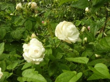 Rosa (Alba-Gruppen) 'Mme Legras de St Germain'