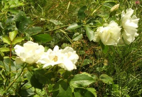 Rosa (Moderna Buskros-Gruppen) 'Morden Snowbeauty'