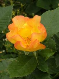 Rosa (Moderna Buskros-Gruppen) 'Morden Sunrise'