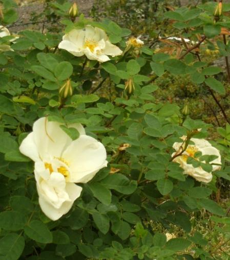Rosa (Moyesii-Gruppen) 'Nevada'