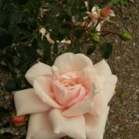 Rosa (Wichurana-Gruppen) 'New Dawn'