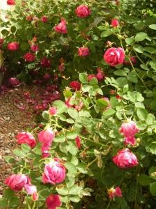 Rosa (Bourbon-Gruppen) 'Parkzierde'