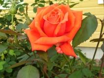 Rosa (Tehybrid-Gruppen) 'Summer Holiday'