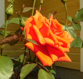 Rosa (Tehybrid-Gruppen) 'Summer Holiday'