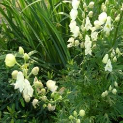 Aconitum napellus 'Album' - äkta stormhatt, vit