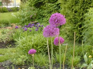 Allium giganteum - jättelök