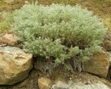 Artemisia schmidtiana 'Nana' - liten schmidtiana 'Nana' 2