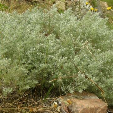 Artemisia schmidtiana 'Nana' - liten schmidtiana 'Nana'