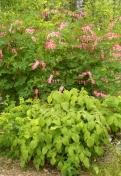 Dicentra spectabilis och Epimedium x youngianum 'Niveum' - löjtnantshjärt och vit sockblomma