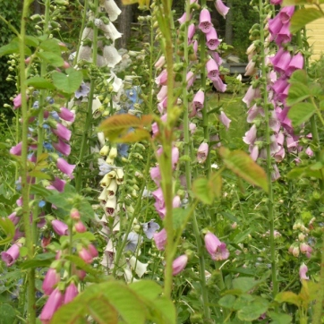 Digitalis purpurea - fingerborgsblomma, foxglove