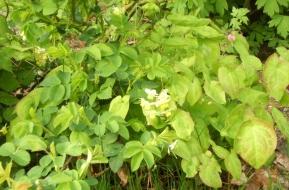 Epimedium x youngianum 'Niveum' - vit sockblomma