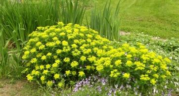 Euphorbia epithymoides - gulltörel 2