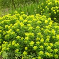 Euphorbia epithymoides - gulltörel