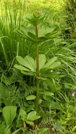 Lilium martagon - krollilja