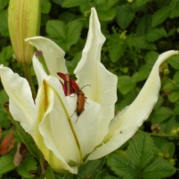 Lilium ospec. vit 3