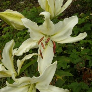 Lilium ospec. vit 4