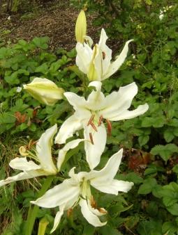 Lilium ospec. vit