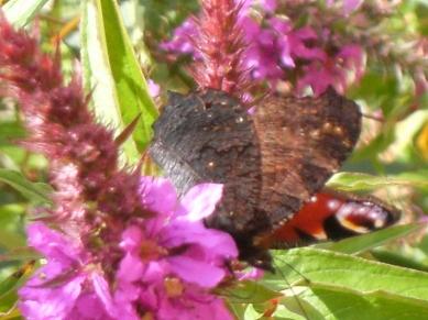 Lythrum salicaria 'Rosy Gem' - fackelblomster 4