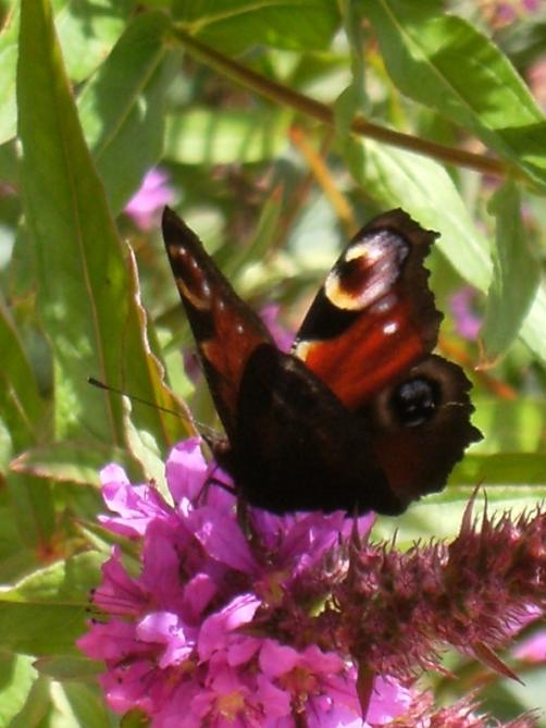 Lythrum salicaria 'Rosy Gem' - fackelblomster 5