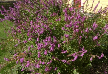Lythrum salicaria 'Rosy Gem' - fackelblomster