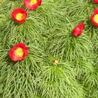 Paeonia x hybrida - herrgårdspion 2