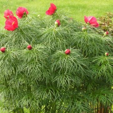 Paeonia x hybrida - herrgårdspion 3