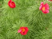 Paeonia x hybrida - herrgårdspion 4