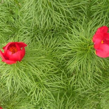 Paeonia x hybrida - herrgårdspion