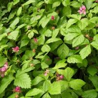 Rubus arcticus ssp. x stellarcticus L. - allåkerbär