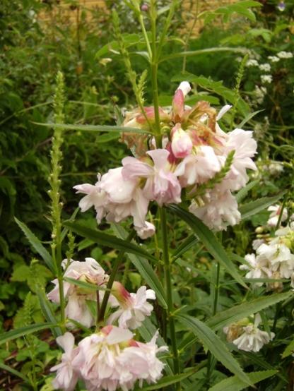 Saponaria officinalis - såpnejlika 3