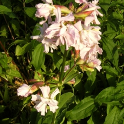Saponaria officinalis - såpnejlika