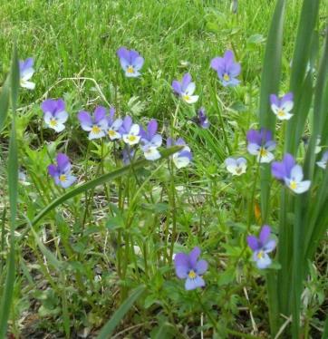Viola tricolor - styvmorsviol