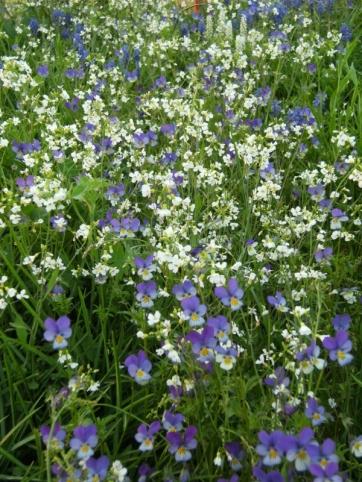 Viola tricolor - styvmorsviol 3
