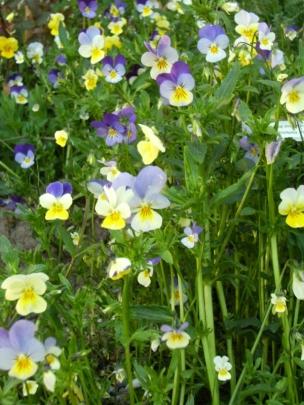 Viola tricolor - styvmorsviol 4