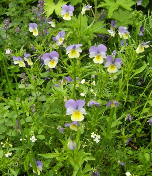 Viola tricolor - styvmorsviol 5